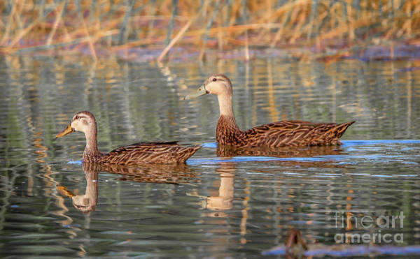 Photograph - Mottled Duck Reflection by Tom Claud