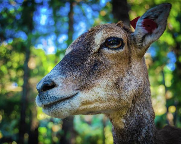 Photograph - Mouflon by Borja Robles