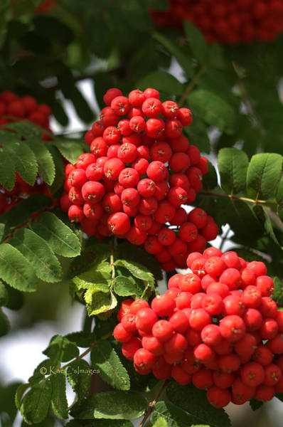 Photograph - Mountain Ash Berries by Kae Cheatham