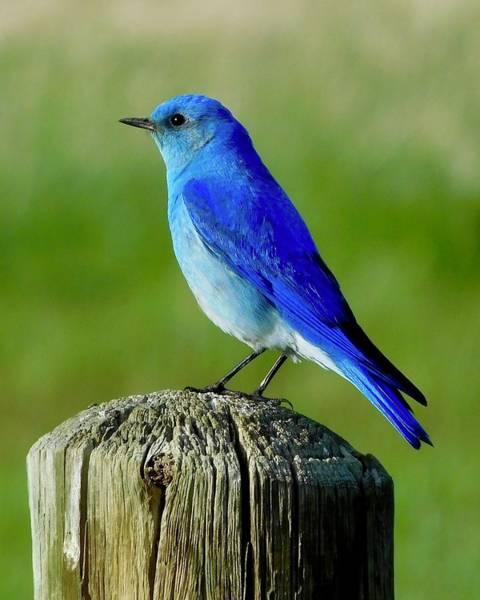 Photograph - Mountain Bluebird 2 by Dan Miller