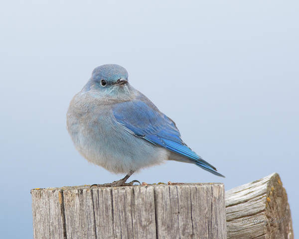 Photograph - Mountain Bluebird by Gerry Sibell