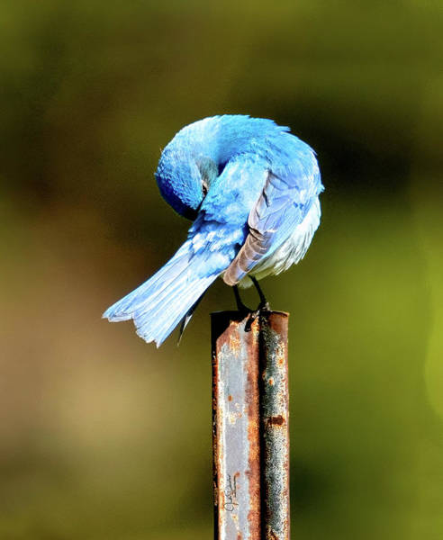 Photograph - Mountain Bluebird Preening by Judi Dressler