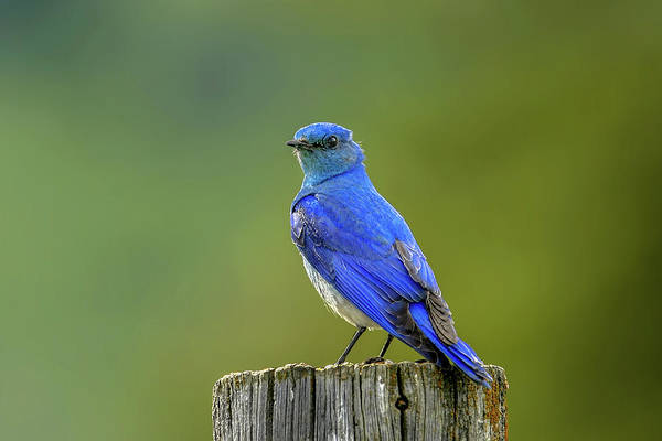Photograph - Mountain Bluebird by Ronnie and Frances Howard