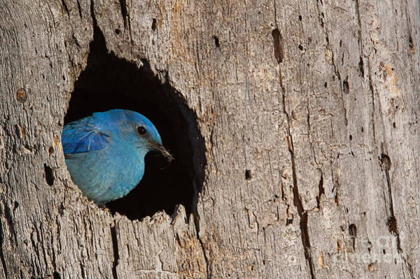 Colorado Wildlife Wall Art - Photograph - Mountain Bluebird, Sialia Currucoides by Tom Reichner