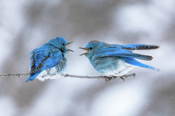 Mountain Bluebirds On A Snowy Day Art Print