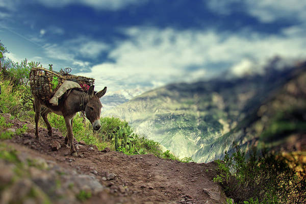 Domestic Animals Photograph - Mountain Donkey by By Kim Schandorff