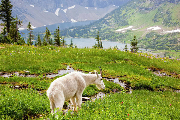 Wall Art - Photograph - Mountain Goat Oreamnos Americanus In by Danita Delimont