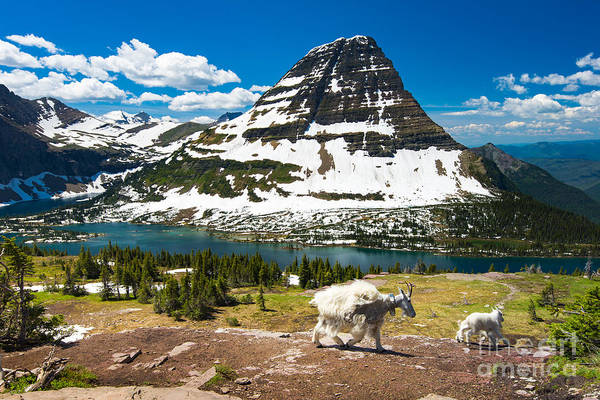 Hiking Path Photograph - Mountain Goats And Hidden Lake, Glacier by Pung