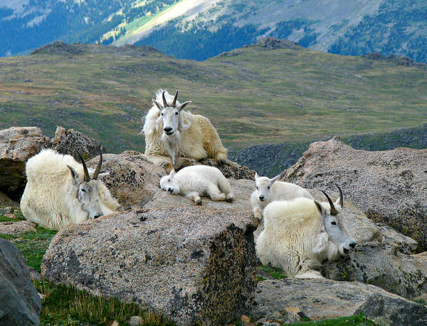 Goat Rocks Wilderness Wall Art - Photograph - Mountain Goats In The Rocky Mountains by Carl Neufelder