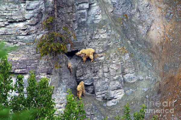 Wall Art - Photograph - Mountain Goats Licking Rocks by Jeff Swan