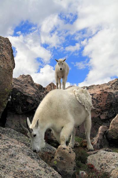 Goat Rocks Photograph - Mountain Goats Oreamnos Americanus by John Kieffer