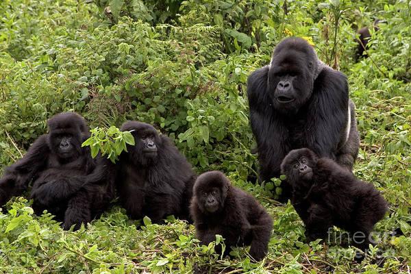 Photograph - Mountain Gorilla Family by Ingo Arndt