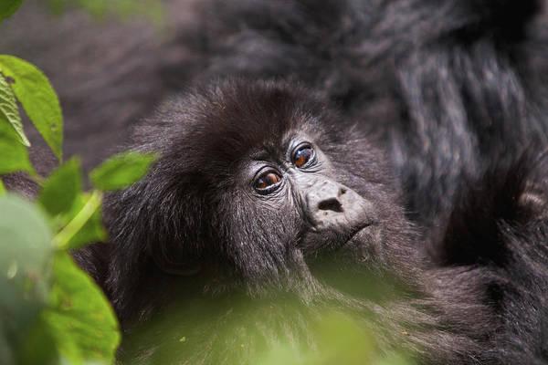 Rwanda Photograph - Mountain Gorilla Gorilla  Beringei by Dawie Du Plessis
