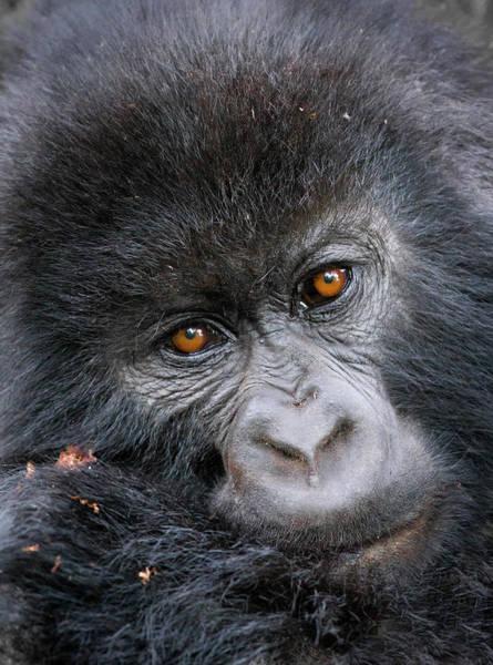Rwanda Photograph - Mountain Gorilla Gorilla Beringei by Mark Smith