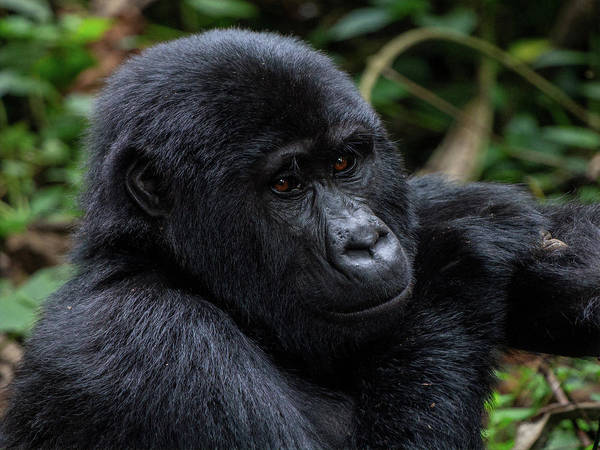 Photograph - Mountain Gorilla by Peter Kennett
