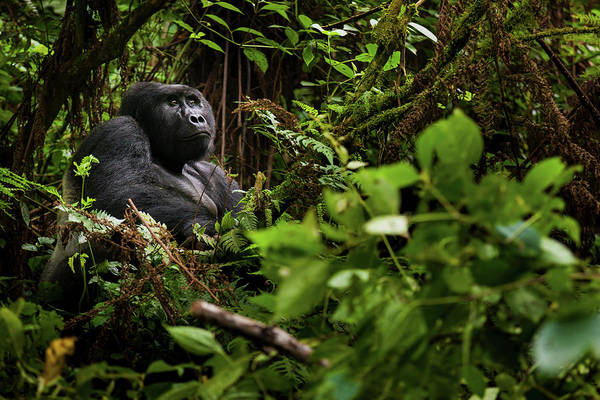 Vertebrate Photograph - Mountain Gorilla, Volcanoes National by Mint Images - Art Wolfe