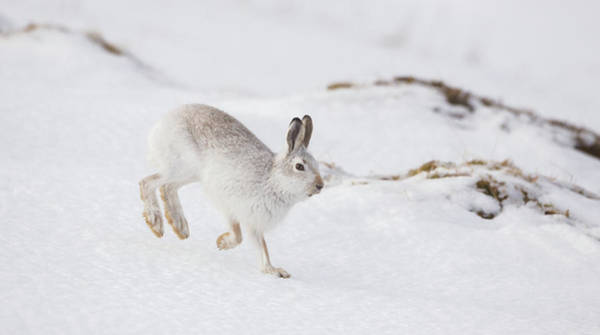 Photograph - Mountain Hare Hopping Down A Hill by Peter Walkden