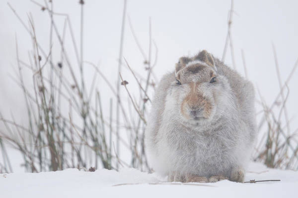 Cute Photograph - Mountain Hare Lepus Timidus Resting In by Yves Adams