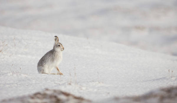 Photograph - Mountain Hare Sat In The Snow by Peter Walkden
