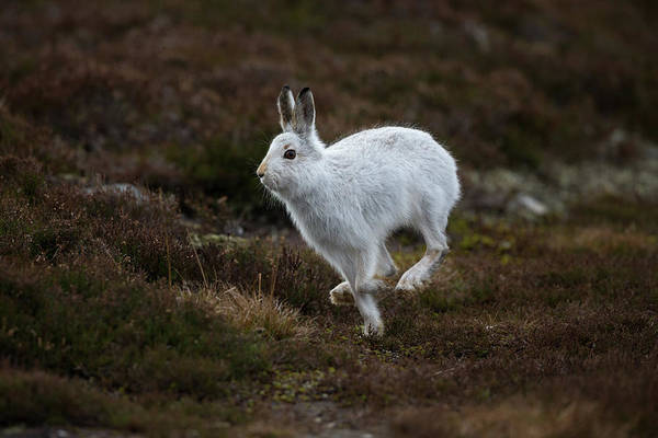 Photograph - Mountain Hare Scampers Past by Peter Walkden