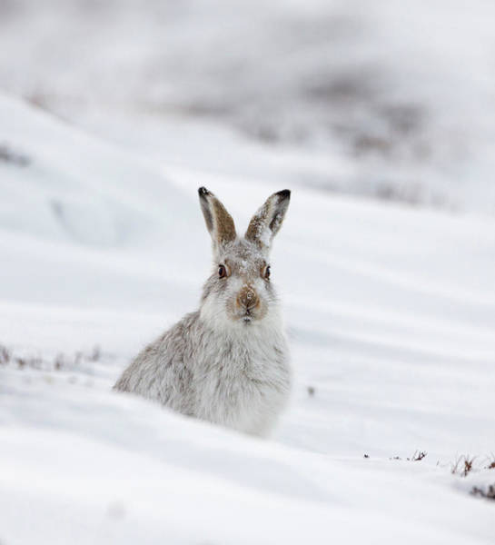 Photograph - Mountain Hare With Snow On Its Nose by Peter Walkden