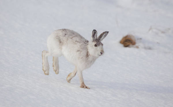 Photograph - Mountain Hare With Wet Fur by Peter Walkden