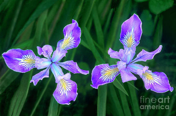 Photograph - Mountain Iris Bloom Iris Douglasiana California by Dave Welling