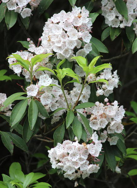 Kalmia Photograph - Mountain Laurel 2018f by Cathy Lindsey