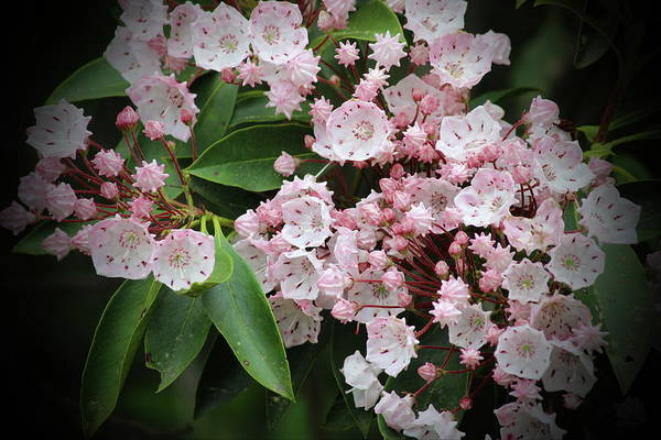 Kalmia Photograph - Mountain Laurel 2018g by Cathy Lindsey