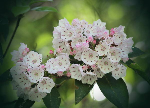 Kalmia Photograph - Mountain Laurel 2018h by Cathy Lindsey