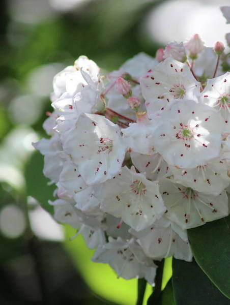 Kalmia Photograph - Mountain Laurel 2018i by Cathy Lindsey