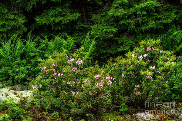 Photograph - Mountain Laurel And Ferns by Thomas R Fletcher