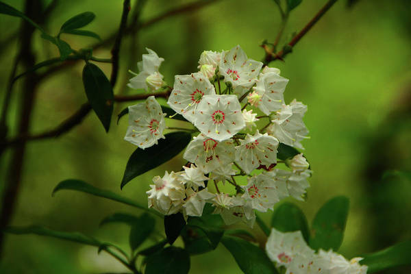 Photograph - Mountain Laurel In Shenandoah National Park by Raymond Salani III