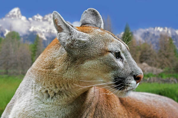 Photograph - Mountain Lion by Arterra Picture Library