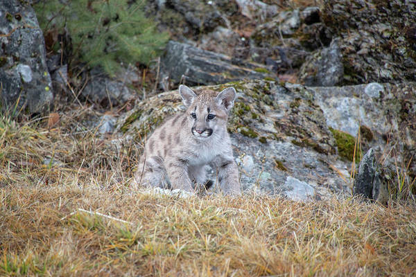 Photograph - Mountain Lion Cub - 5641 by Teresa Wilson