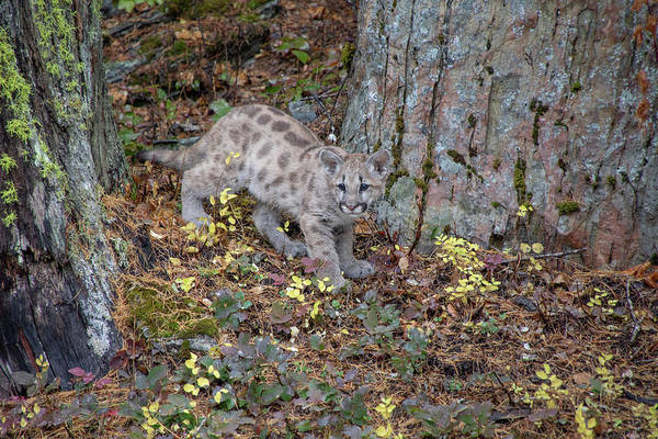 Photograph - Mountain Lion Cub - 6918 By Tl Wilson Photography  by Teresa Wilson
