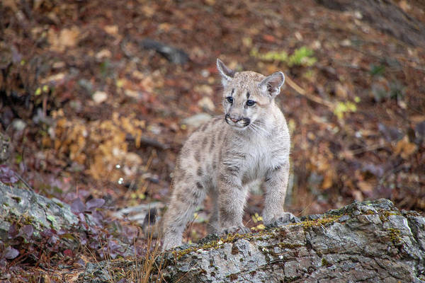 Photograph - Mountain Lion Cub - 7038 By Tl Wilson Photography  by Teresa Wilson