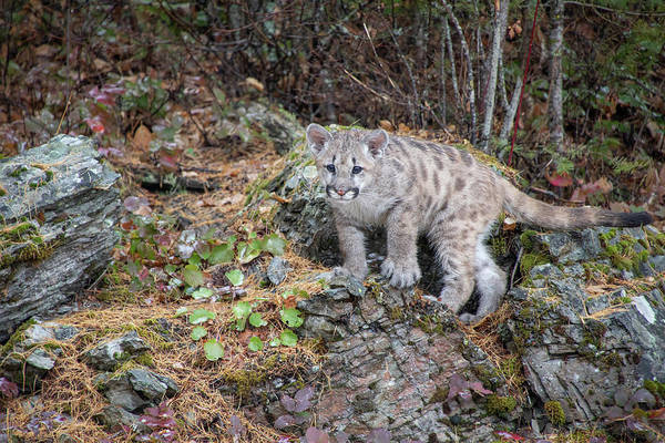 Photograph - Mountain Lion Cub - 7157 By Tl Wilson Photography  by Teresa Wilson