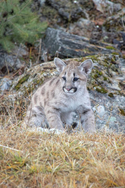 Photograph - Mountain Lion Cub - Vertical by Teresa Wilson