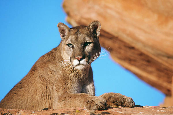 Wall Art - Photograph - Mountain Lion Felis Concolor Laying by Panoramic Images