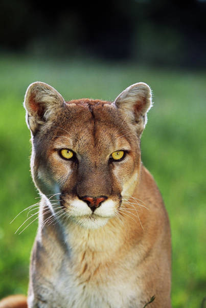 Wall Art - Photograph - Mountain Lion Felis Concolor, Portrait by Panoramic Images