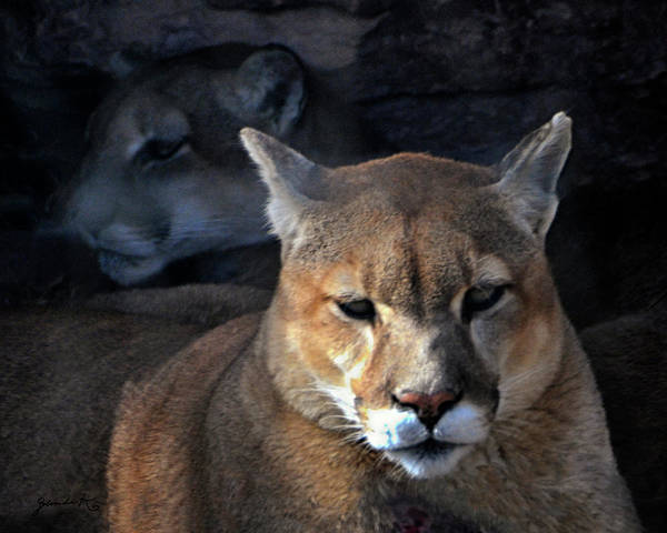 Photograph - Mountain Lion In South Dakota United States Of America  by Gerlinde Keating - Galleria GK Keating Associates Inc