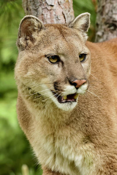 Puma Photograph - Mountain Lion In Tree, Puma Concolor by Adam Jones