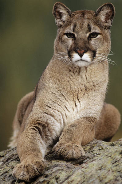 Vertebrate Photograph - Mountain Lion Or Cougar, Felis by Mike Hill