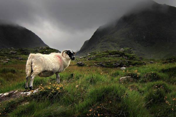 Killarney Photograph - Mountain Sheep by Paul Baggaley