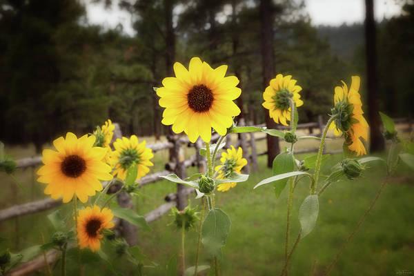 Mountain Sunflowers Art Print