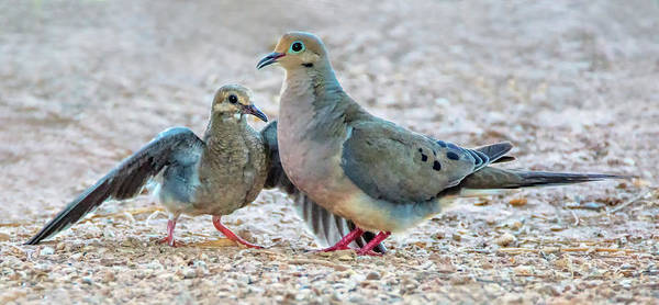Photograph - Mouring Dove Adult And Juvenile 4478-080119 by Tam Ryan