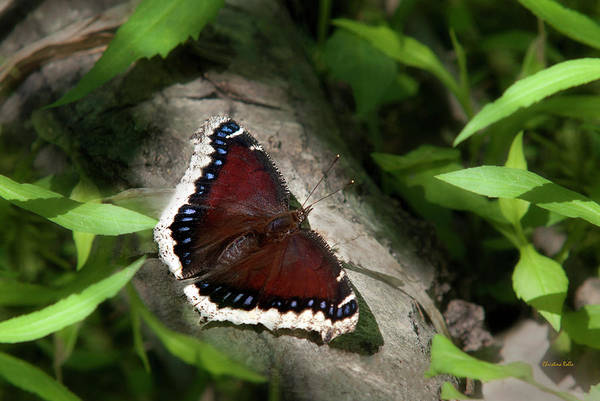 Photograph - Mourning Cloak Butterfly by Christina Rollo