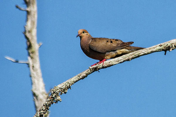 Photograph - Mourning Dove by Bob Decker