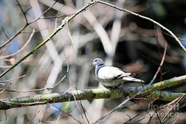 Wall Art - Photograph - Mourning Dove by Diann Fisher
